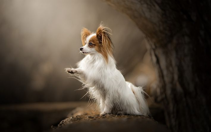 Download wallpapers Papillon, small dog, domestic pet, wood, Continental toy spaniel, dog breeds
