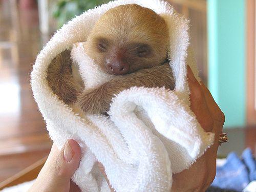 sleepy baby sloth