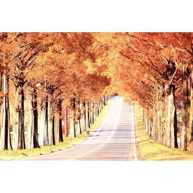 一直線に延びた美しすぎるメタセコイア並木に感動ドライブデートで訪れるなら秋色に染まるマキノ高原へ