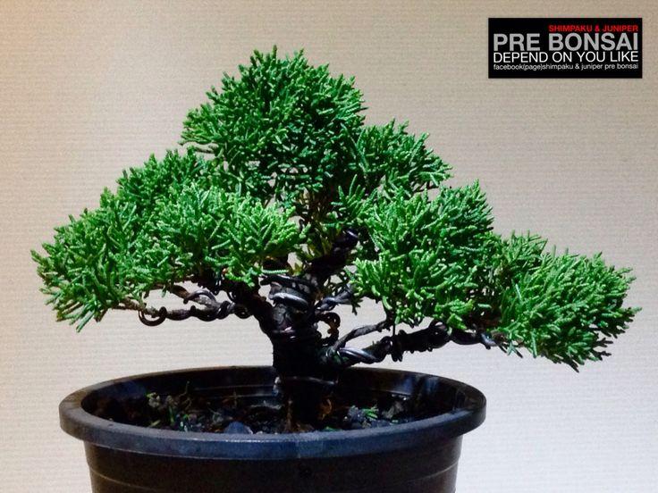 Shimpaku pre Bonsai By : Prawit