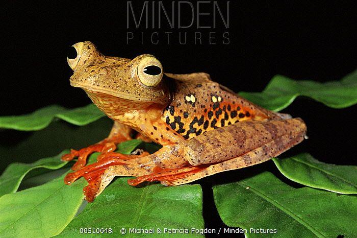 Harlequin Flying Treefrog (Rhacophorus pardalis), Danum Valley Conservation Area, Sabah, Malaysia Michael & Patricia Fogden ; 00510648