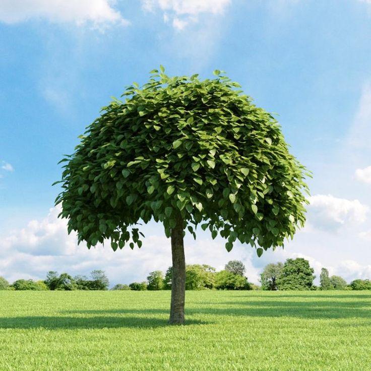 Le catalpa arbres à croissance rapide