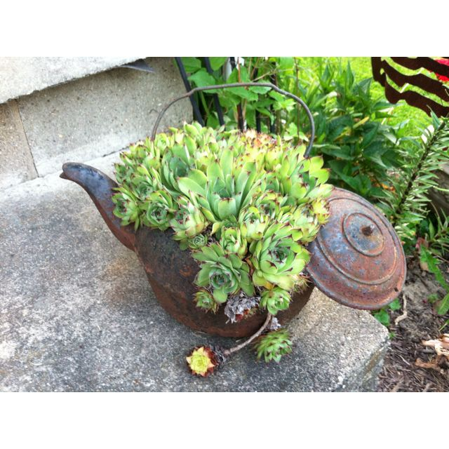Hen and chicks - Love the tea kettle!
