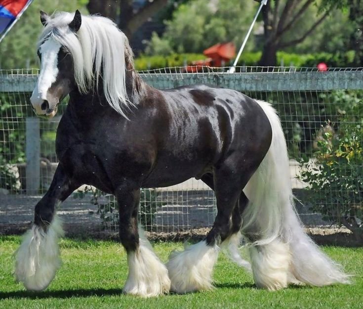 A Gypsy Cob simply amazing! - In France you can buy Gypsy Cob stallions like this with 4,100 euro. - Pixdaus