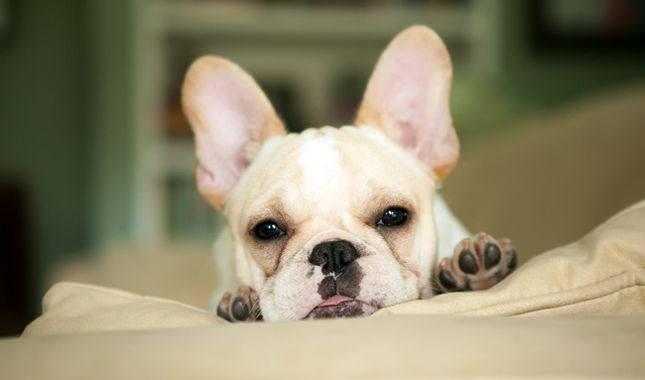 Everything you want to know about French Bulldogs including grooming, training, health problems, history, adoption, finding good breeder and more.