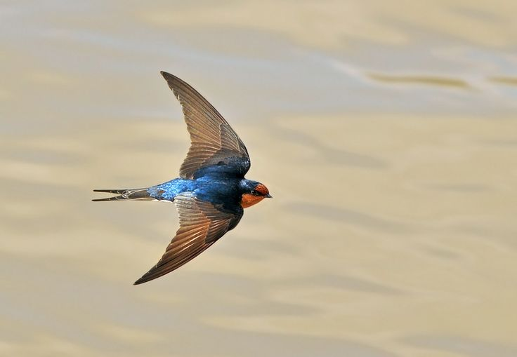 Welcome Swallow (Hirundo neoxena)  is a small passerine bird in the swallow family. It is a species native to Australia and nearby islands.