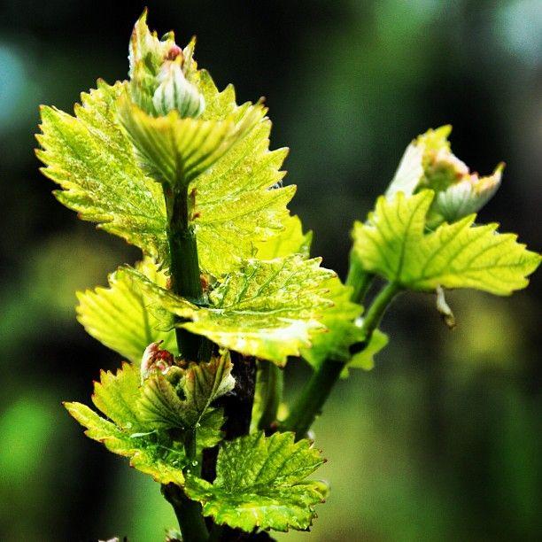 """Il germoglio della vite in una giornata uggiosa. #franciacorta #vino #wine #vite #vine #vigna #vigneto #vineyards #foglia #leaf #leaves #verde #green #pioggia #rain #primavera #spring #springtime #instalove #instapic #instaitalia #instawine #nature #natura #picoftheday"""""""