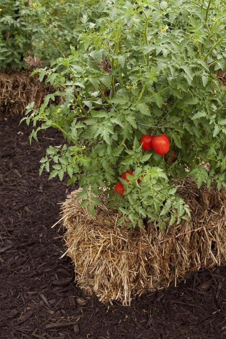 Tomato plants flourish in straw bales, and no weeds or weeding! Check out the straw-bale gardening movement that has become one of this summers hottest gardening trends. (AP Photo/Cool Springs Press, Tracy Walsh/Poser Design)
