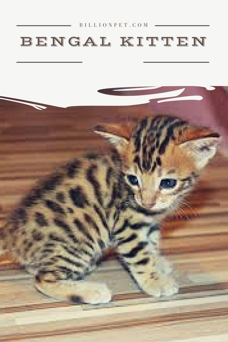 Bengal kitten #bengalkitten