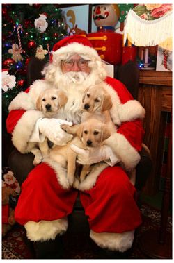 Father Christmas with three guide dog pups