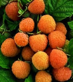 Anne Yellow Raspberry - Raspberry Plants - Stark Bro's