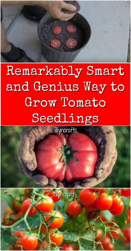 Remarkably Smart and Genius Way to Grow Tomato Seedlings {Video}