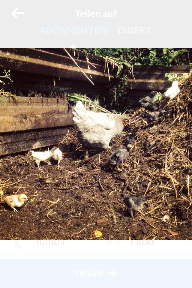 Brahma Huhn mit 1 Wyandotten und 10 Marans Kücken im Misthaufen auf der Suche nach Würmer.