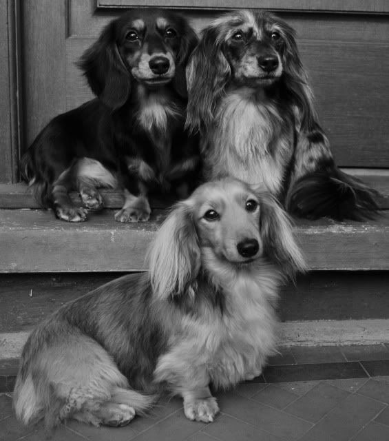 Miniature Long Haired Dachshunds » Variare Dachshunds
