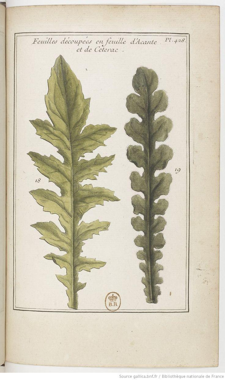 Feuilles découpées en feuille d'[Acanthe] et de [Cétérach]; Élémens de botanique, ou Méthode pour connoître les plantes, par M. Pitton Tournefort, 1694