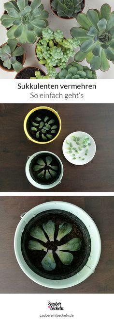 Sukkulenten vermehren mit Blattstecklingen
