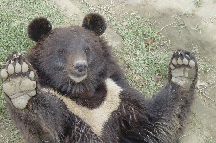 Dit is Rustam, de eerste beer die we konden redden van beer-hondengevechten. Helaas is hij inmiddels overleden, maar deze blije foto herinnert ons elke dag aan ons eerste succes in de strijd tegen beer-hondengevechten.