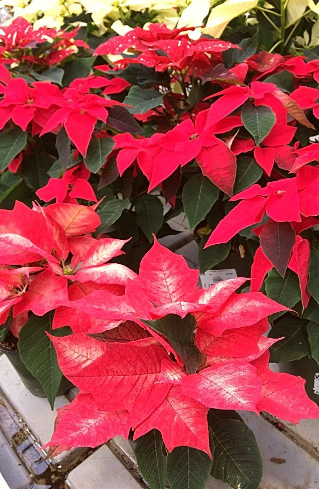 Nobody Wants To Receive A Poinsettia Plant As A Gift This Holiday Only To Have It Die Before Christmas Avoid T Poinsettia Plant Flower Pot Design Flower Pots