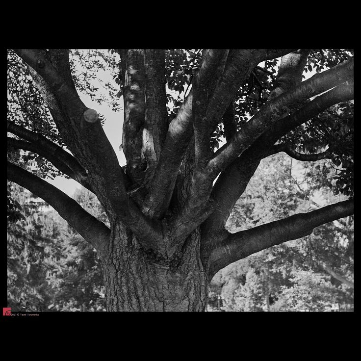 """Tree - Kodak T-MAX 400 36EXP, Zenit EM + Helios-44M-4 2/58 . Feel free to visit and follow me on  * <a href=""""http://torontointeriors.photography/"""">torontointeriors.photography</a> * <a href=""""https://www.facebook.com/PavelVoronenkoPhotography"""">Facebook</a> * <a href=""""https://www.facebook.com/torontointeriorsphotography"""">T.I.F. on Facebook</a> * <a href=""""https://instagram.com/torontointeriors.photography/"""">Instagram</a> * <a href=""""https://www.pinterest.com/PavelVoronenko/"""">Pinterest</a>  Feel…"""