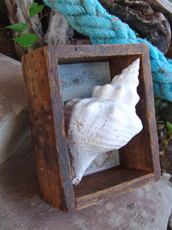 Natural Weathered Horse Conch Shell in by seashellsbyseashore, $89.00