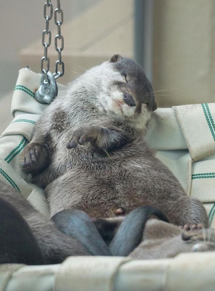 "'Archibald' The Otter: ""Relaxed Hammock Living!"""