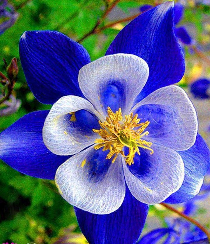Beautiful Unique Flowers: Best 25+ Columbine Flower Ideas On Pinterest
