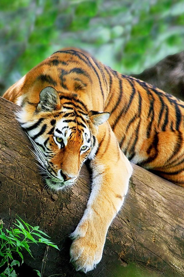 Tiger resting on the branch of a tree