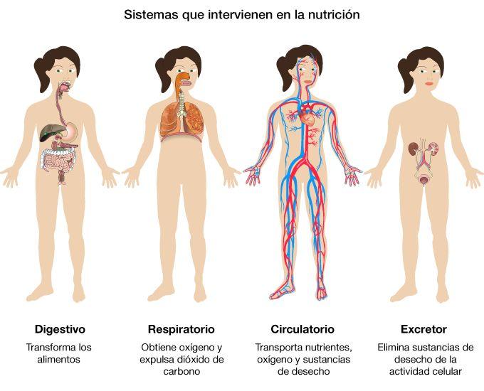 Imagenes De Los Aparatos Del Cuerpo Humano Para Niños Imagui