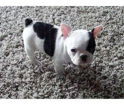 cuccioli di bulldog francese per l'adozione - Ho 3 di razza cuccioli di bulldog francesi pronti per la loro nuove case. Entrambi sono in buona salute, sono stati controllati veterinario, vaccinati, microchip e sverminati. Sono state sollevate in un ambiente familiare con i bambini, i genitori sono cani grandi e saranno in mostra (anche... - http://www.ilcirotano.it/annunci/ads/cuccioli-di-bulldog-francese-per-ladozione/