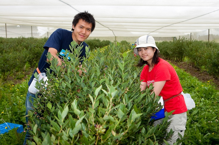 Have a go at picking blueberries - Mamaku Blue Blueberry Experience - www.rotorua.co.nz