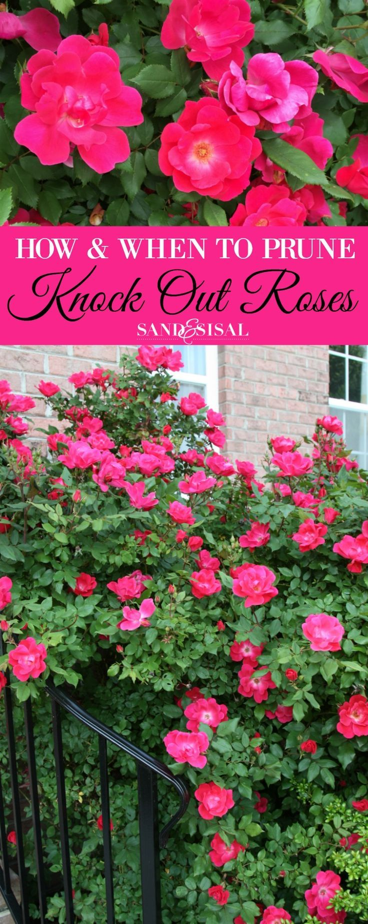 Backyard rose garden - How And When To Prune Knock Out Roses