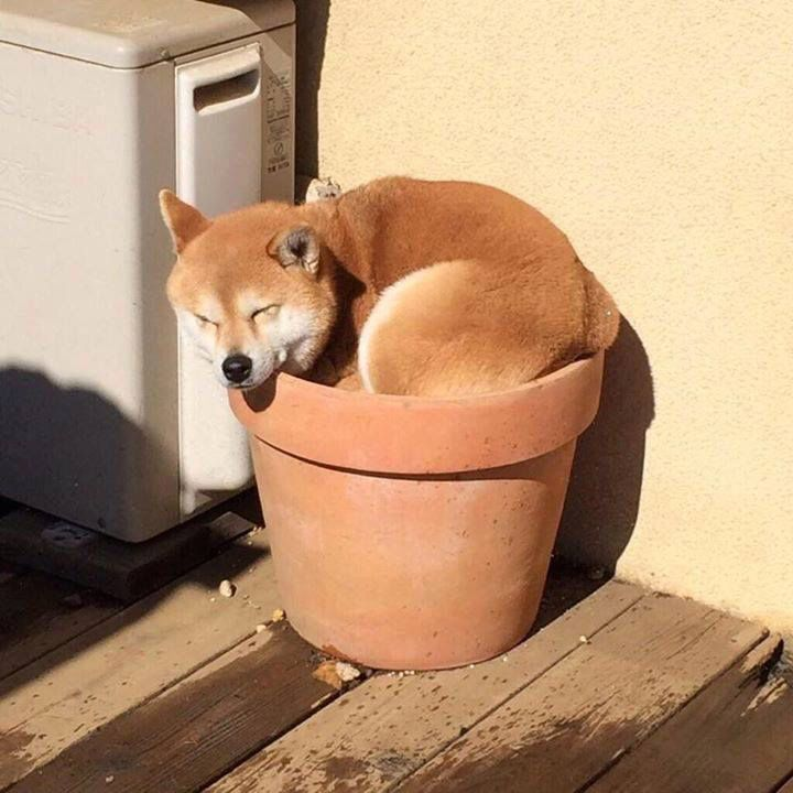 Best Shiba Inu Images On Pinterest Shiba Inu Doge And Dogs - Three shiba inus stick their heads through wall to greet passers by