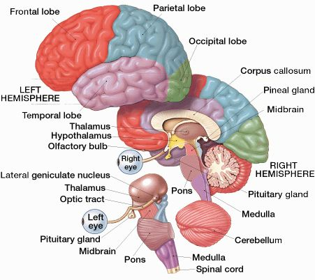 Of The Brain Worksheet