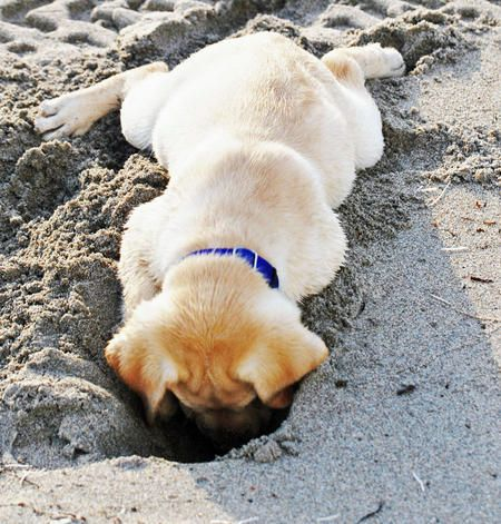 Riggins the Labrador Retriever-Too cute!!! Wonder what he found down there!