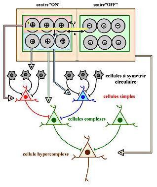 cellules hyper-complexes