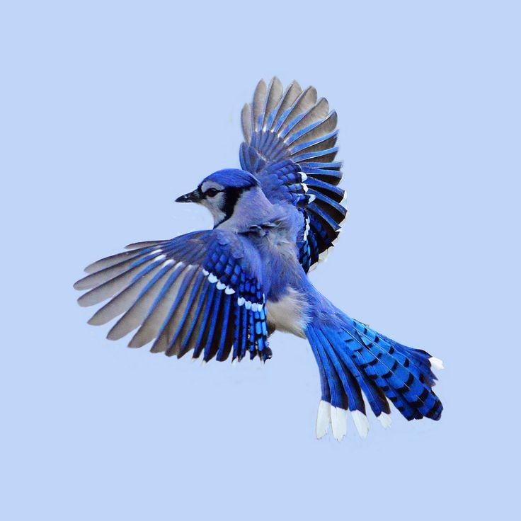 blue jay in flight - Google Search