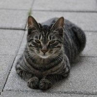 #dogalize Gatti grigi, tutte le loro caratteristiche e le razze #dogs #cats #pets
