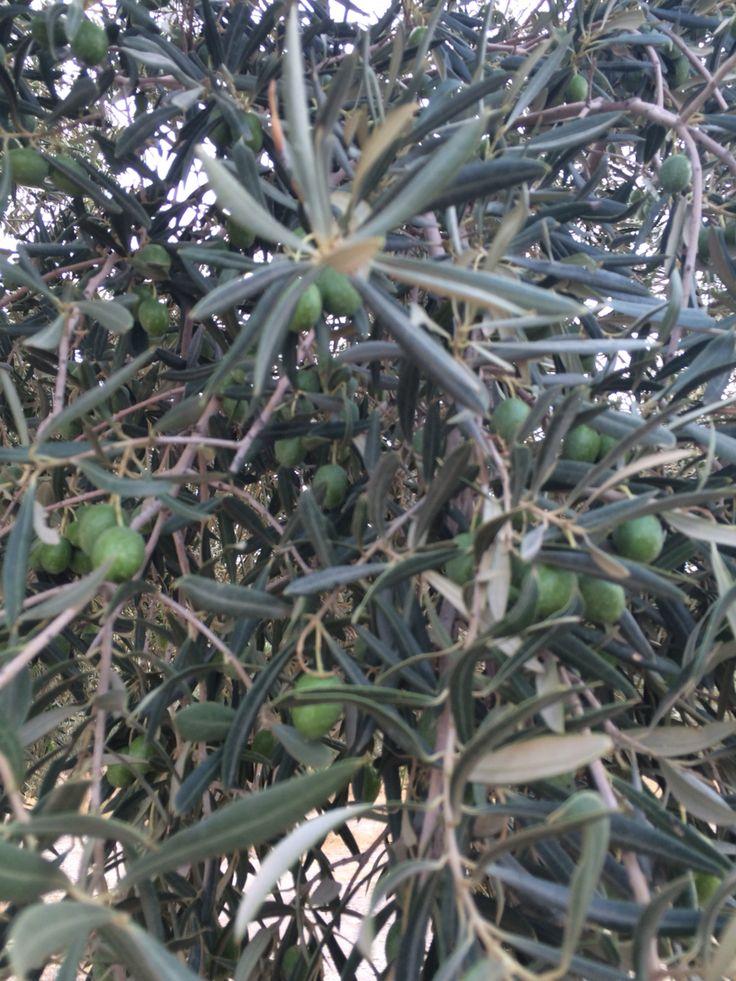 Hojiblanca olives august