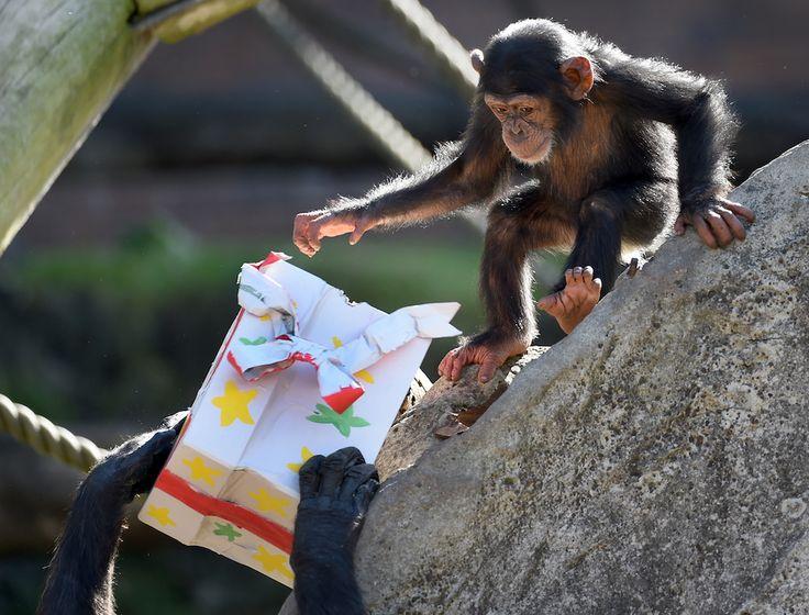 Un cucciolo di scimpanzé gioca con un pacco regalo allo zoo Taronga a Sydney, in Australia. (Matt King/Getty Images) - E chi l'ha detto che sta per iniziare l'inverno? - Il Post