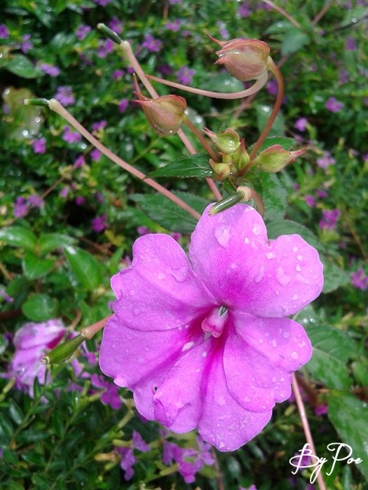 Bunga semak warna ungu-pink