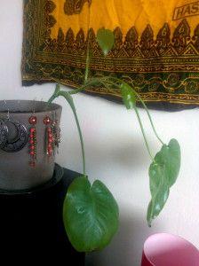 Nuori jättipeikonlehti. Kasvi kasvaa tätä vielä paljon suuremmaksi, lehtiä on enemmän ja niiden reunoihin kehittyy aukkoja.