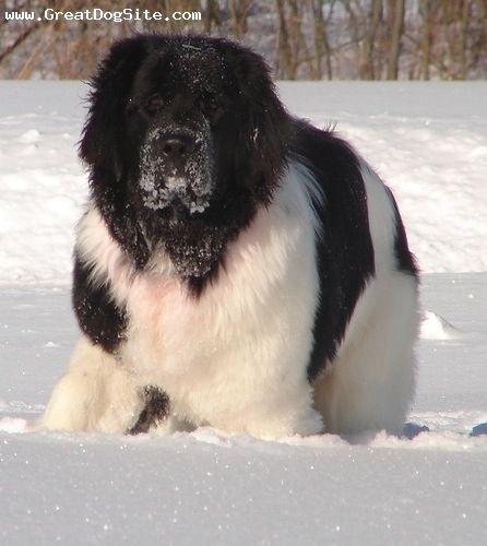 Landseer Newfoundland dog Tail waggingcold noses