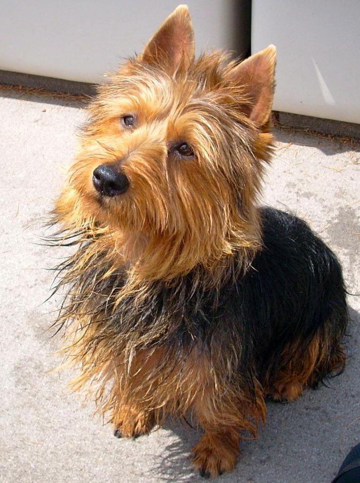Australian Terrier Dog