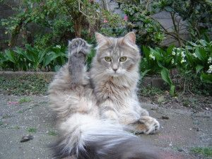 #MaineCoon #Poly #Polydactyl #Cats Daddy Longtail Rain PP