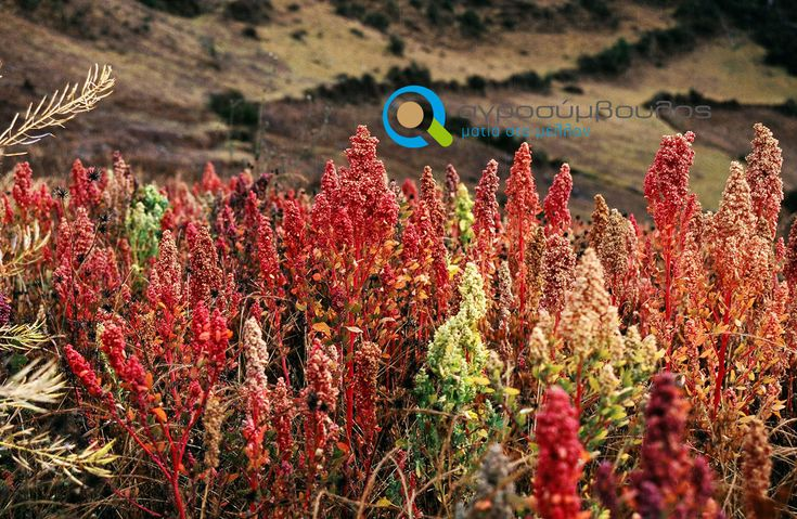 Καλλιέργεια κινόας | Quinoa | agrosimvoulos