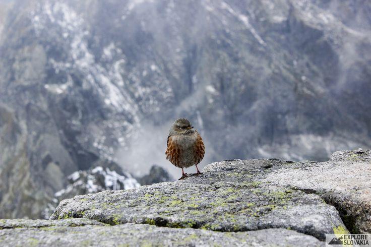 Vrchárka bird in High Tatras near Rysy peak.