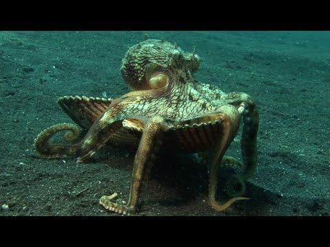 "Introducing ""Kleptopus"", The Shell-Stealing Veined Octopus. [MOBILE VIDEO]"