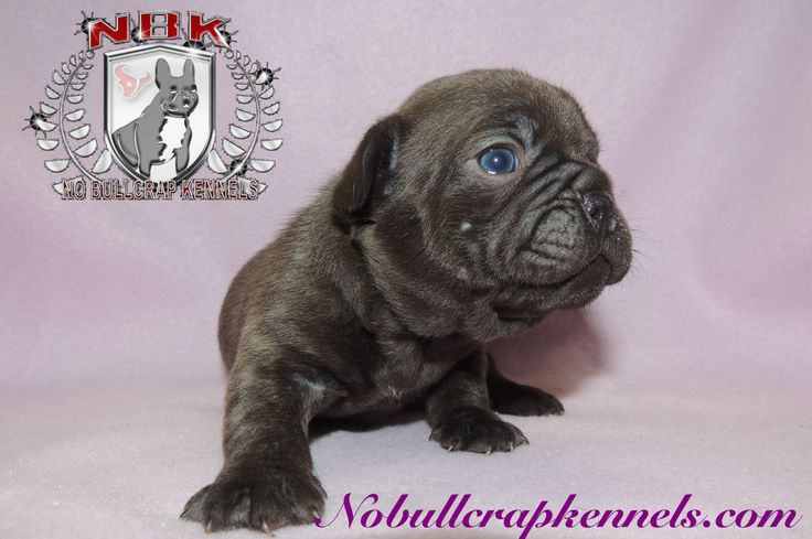 Chocolate french bulldog puppy rare colored french