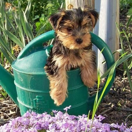 Not only do we love Yorkshire but we love dogs too! Yorkshire terrier