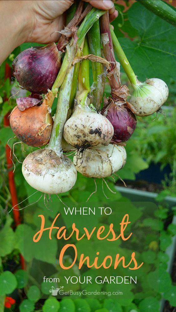 134 best gardening images on pinterest indoor gardening for Indoor gardening onions